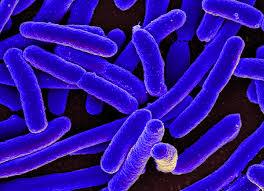 e coli bacteria wikimedia commons